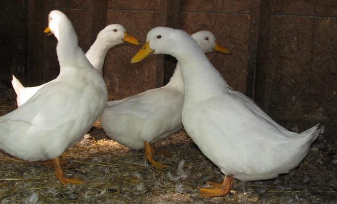 Утки в птичнике
