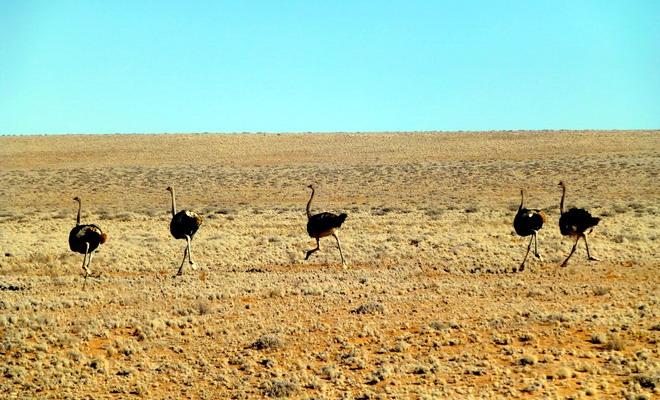 Страусы в пустыне