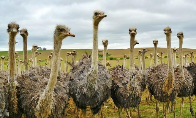 Много страусов