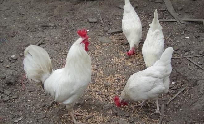 Кормление домашней птицы