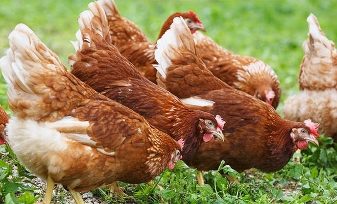 Отличие кур породы хайсекс браун от ломан браун