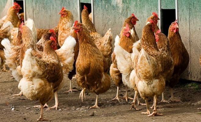 Много коричневых куриц