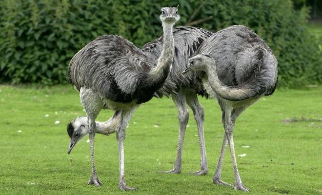 Птица похожая на страуса